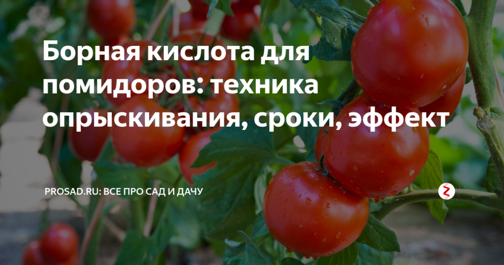 Опрыскивание томатов борной кислотой от болезней