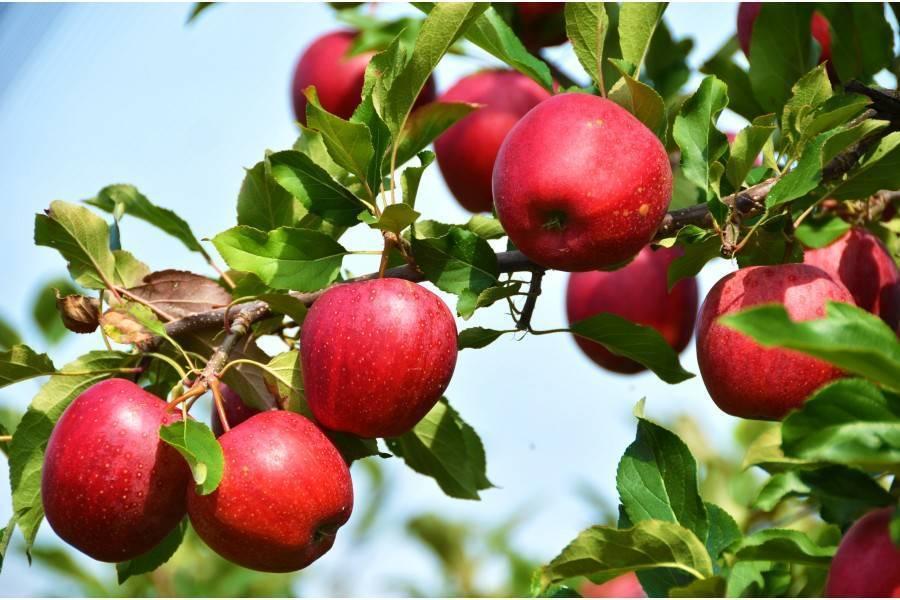 О яблоне Лобо: описание и характеристики сорта, посадка, уход, выращивание