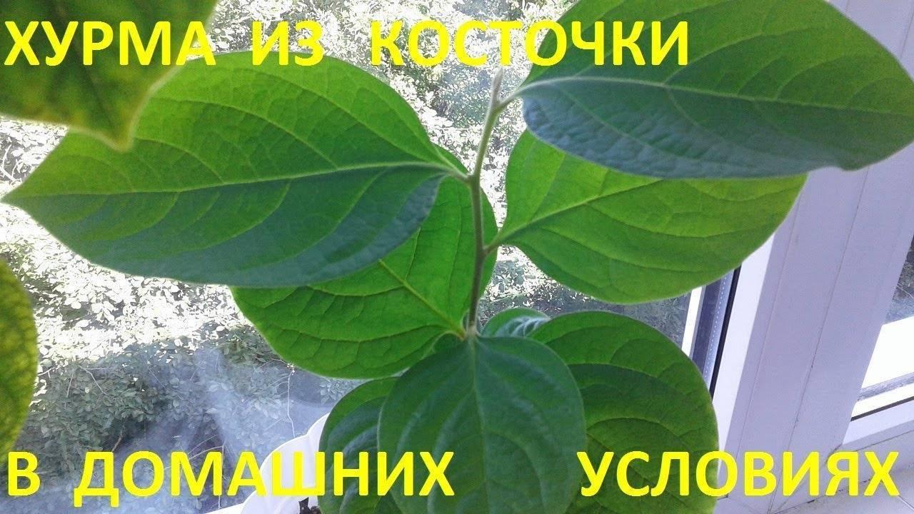 Простой способ как вырастить хурму из косточки и получить плодоносящее деревце