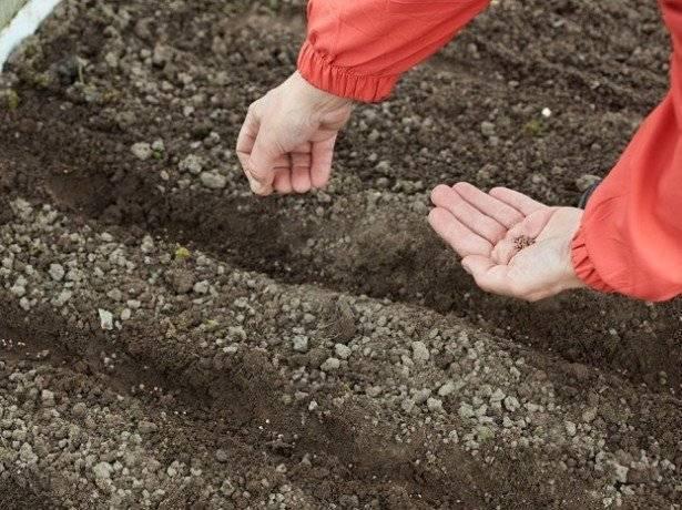 Когда сажать редиску весной в 2020 году в открытый грунт в регионах россии
