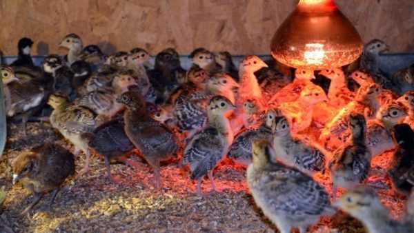 Разведение фазанов: содержание в домашних условиях