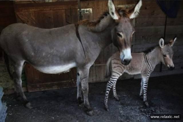 Спаривание зебры и лошади