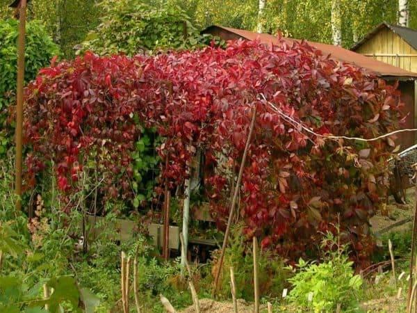 Посадка и уход за девичим виноградом