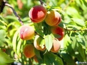 Когда созревают абрикосы