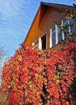 Можно ли вырастить виноград на балконе