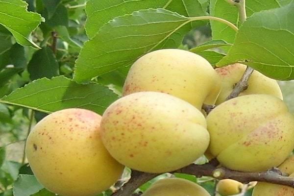 Описание сорта абрикос кичигинский с отзывами