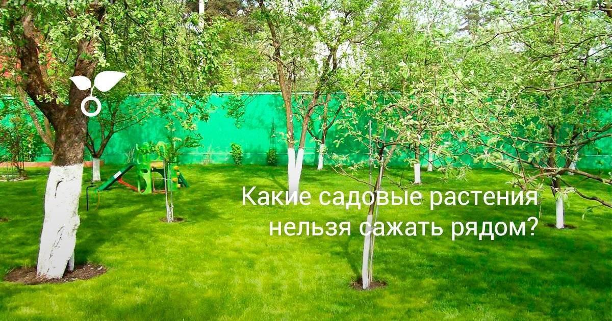 Можно ли сажать вишню рядом со сливой - что можно посадить под сливой в саду