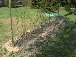 Август, посадка малины: как выбрать место и какие нужны удобрения. выращивание малины на дачном участке