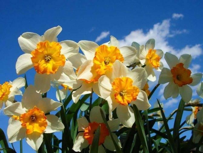 Когда и где посадить нарциссы, чтобы весной увидеть цветение?