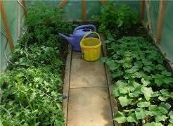 Выращивание баклажанов в одной теплице с огурцами: правила посадки и ухода