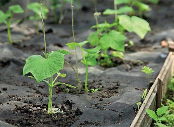 Технология выращивания огурцов под укрывным материалом