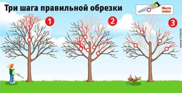 Как должна производиться обрезка яблонь весной. рекомендации профессионалов
