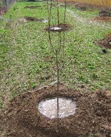 Как поливать вишню, время полива весной, посадка и уход за саженцами