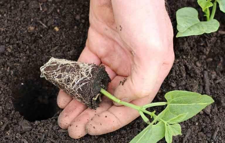 Когда можно сажать фасоль в открытом грунте