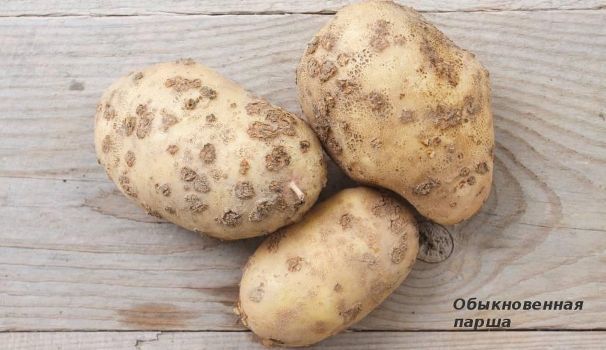 Болезни картофеля, фото, описание и лечение.