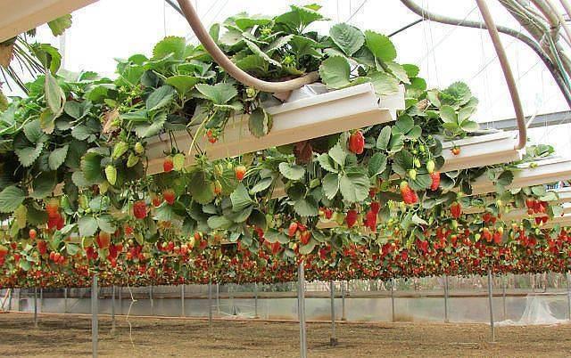 Выращивание клубники по голландской технологии - инструкция с подробным описанием условий!