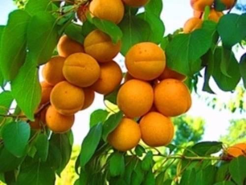 Отсутствие плодов на абрикосе: причины и их устранение