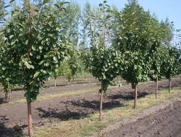 Сорта вишни для выращивания в подмосковье