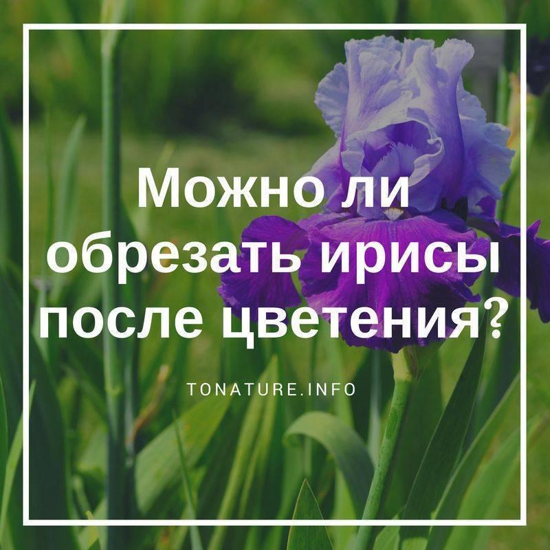 Когда пересаживать ирисы? как ухаживать за ирисами после цветения? | красивый дом и сад