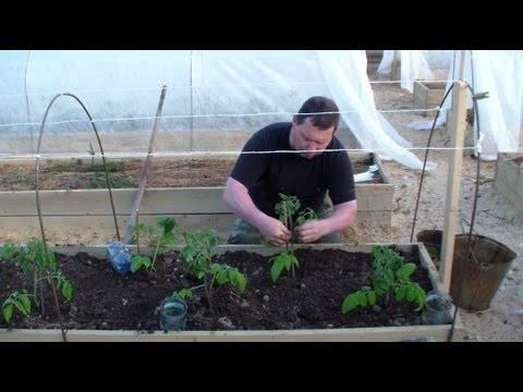 Когда высаживать помидоры под укрывной материал