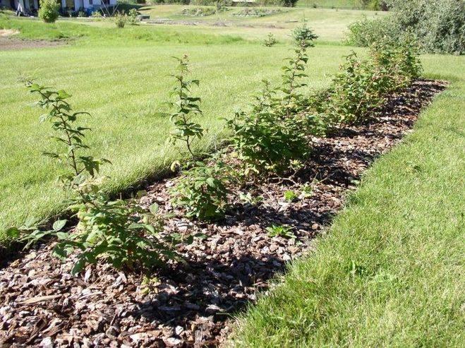 Опилки хвойных пород можно ли на огороде