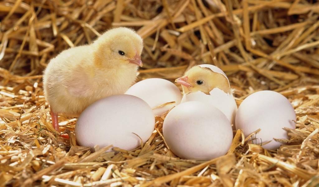 Выведение цыплят в инкубаторе в домашних условиях: плюсы и минусы, основные правила, уход за выводом