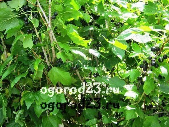 Смородина - посадка и уход в открытом грунте, инструкция и советы
