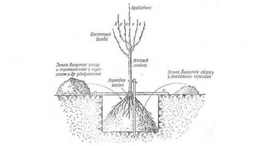 Выращивание сливы из косточки: пошаговые инструкции
