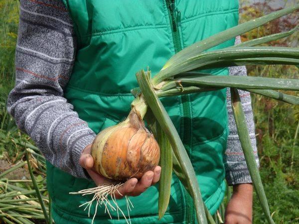 Нужно ли обрезать лук перед посадкой в зиму и как это надо делать?