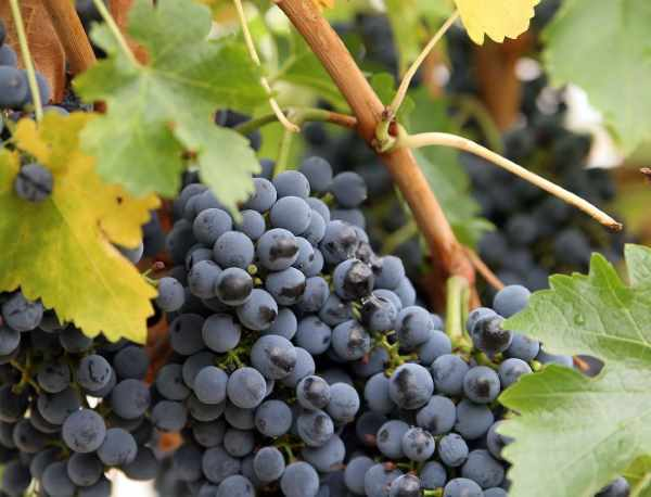 Почему виноград весной «плачет» и нужно ли этого бояться?