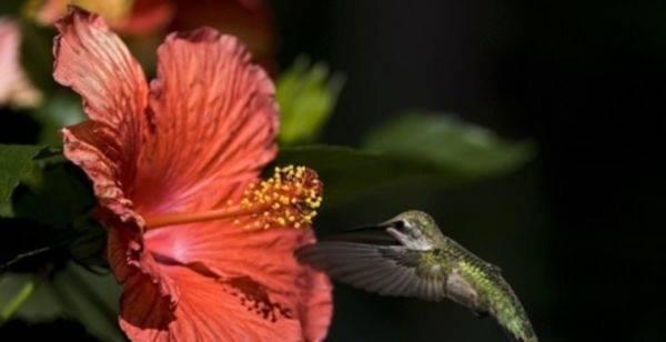Китайская роза желтеют листья и опадают