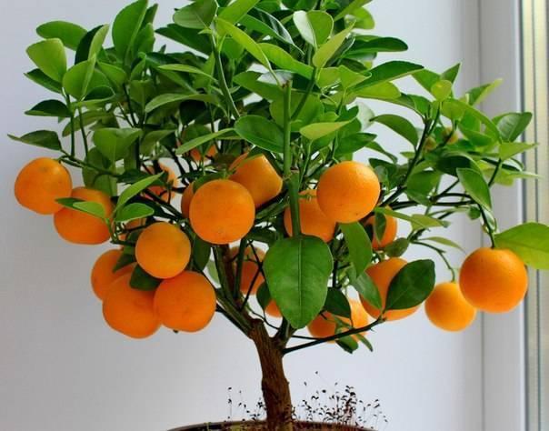 Выращивание мандарина из косточки: как привить, особенности посадки