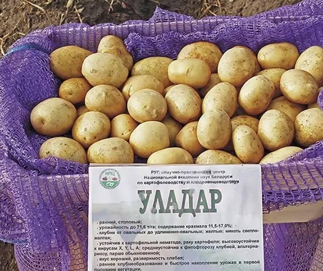 Белорусский картофель сорта уладар - отличный вкус и простота выращивания