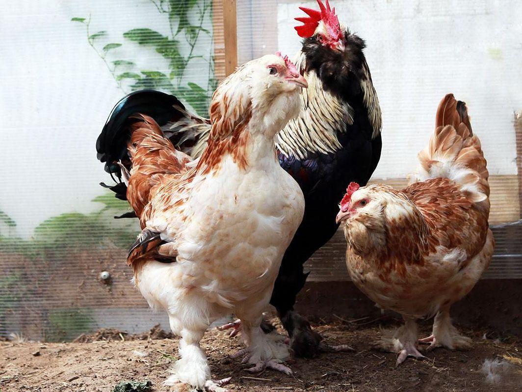 Как лечить понос у кур?