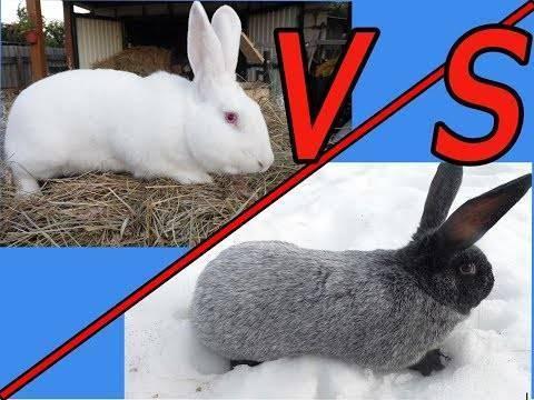 Кролики белый паннон описание