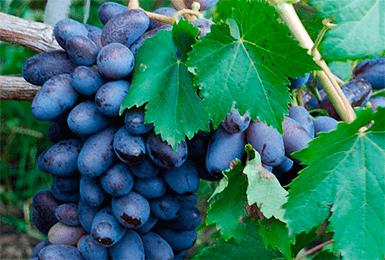 Байконур — столовый сорт винограда