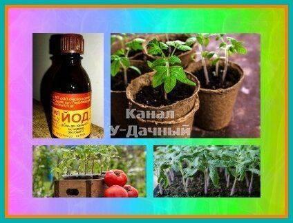 Подкормка рассады томатов в домашних условиях — йодом. все, что нужно знать — правильные пропорции раствора