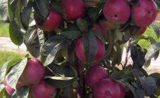 Характеристики яблони колоновидной