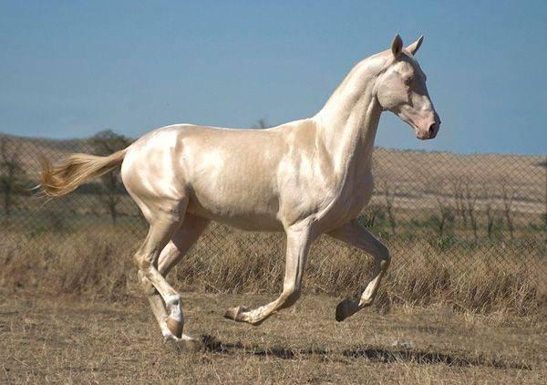 Об изабелловой масти лошади: особенности лошадей изабелловой масти