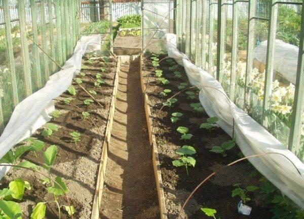 Правила посадки и технология выращивания кабачков в теплице