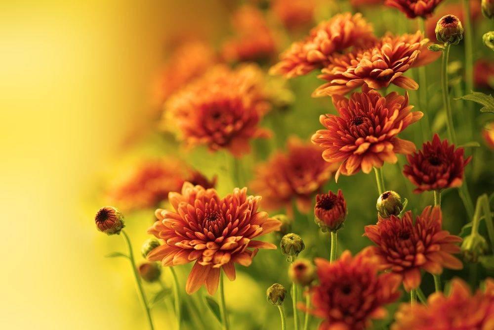 Хризантема садовая — википедия. что такое хризантема садовая