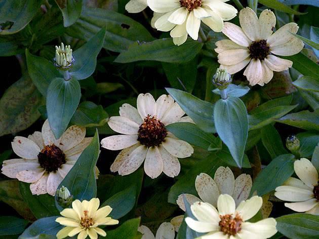 Цинния: описание растения и правила ухода