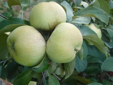 О яблоне Богатырь: описание и характеристики сорта, посадка и уход