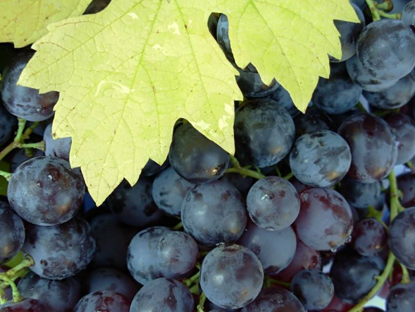 Обработка винограда борной кислотой перед цветением - как ...