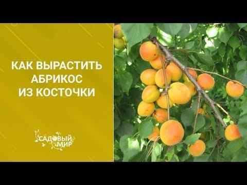 Технология осенней посадки абрикоса косточкой
