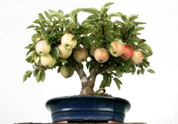 Как вырастить яблоню из семечка в домашних условиях: подробная инструкция