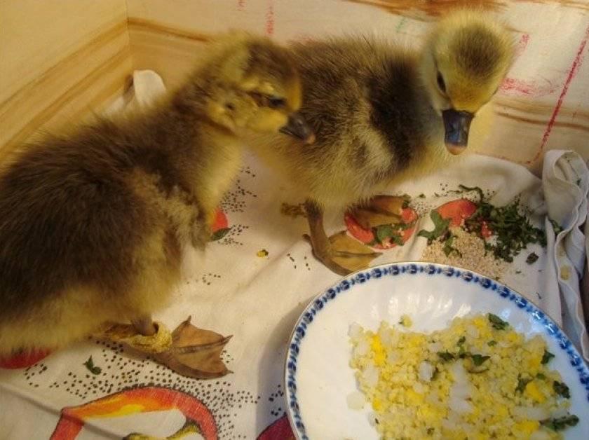 Чем кормить гусей?