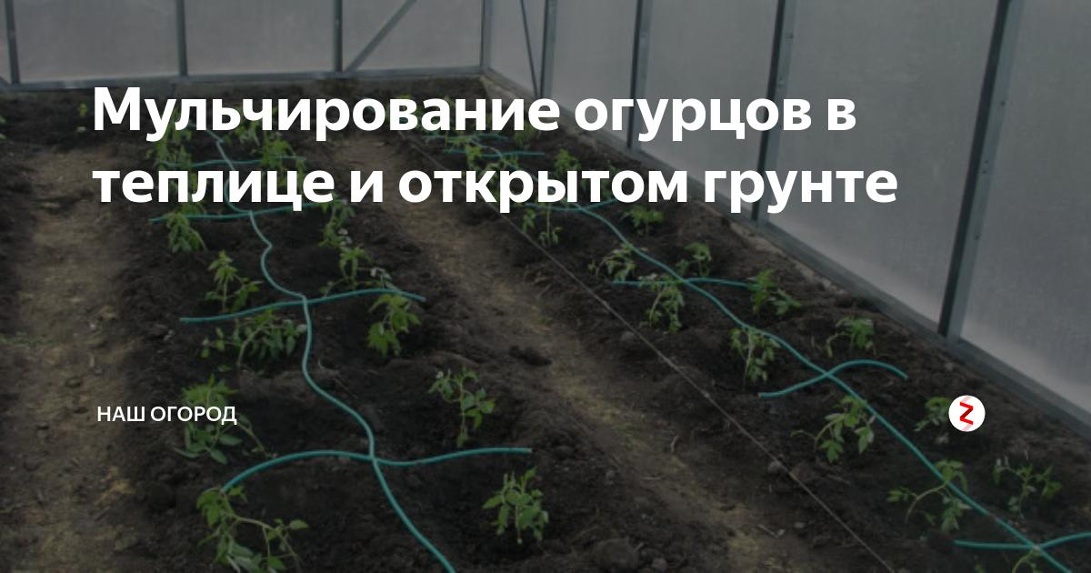 Выращивание огурцов в теплице – рассада, подготовка семян, уход