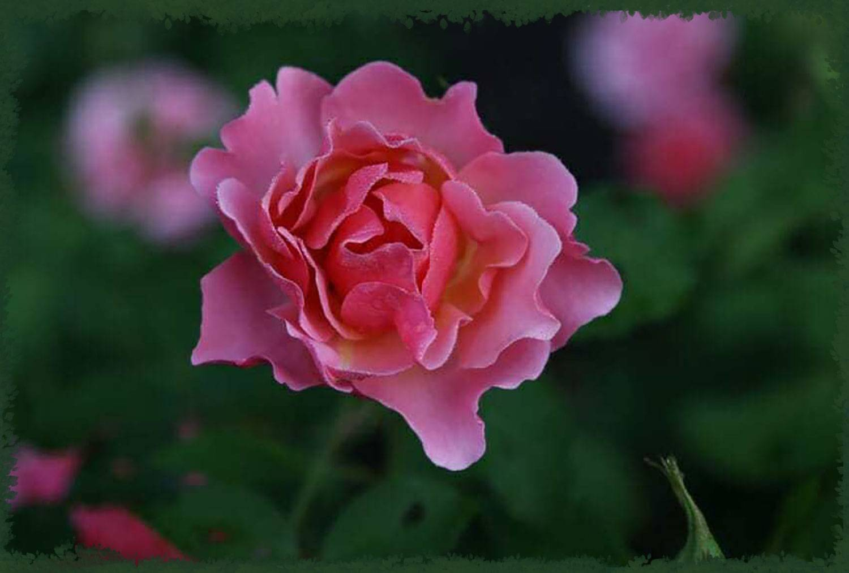 Парковые. описание сорта роз текила (tequila sunrise) роза текила описание