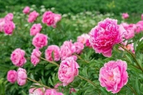 Почему не цветут пионы: 5 причин и пути решения проблем